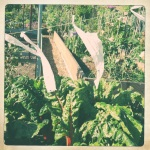 The pest deterrent system for a plot of chard.